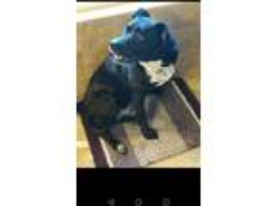 Adopt Ripley a Black - with White Boxer / Labrador Retriever dog in Kuna