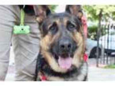 Adopt OTTO a Black - with Tan, Yellow or Fawn German Shepherd Dog / Mixed dog in