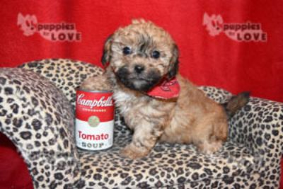 Poodle (Toy)-Shih Tzu Mix PUPPY FOR SALE ADN-97799 - TOY SHIHPOO