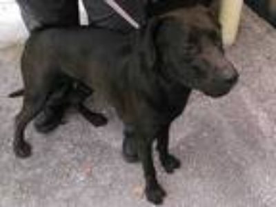 Adopt GATOR a Black Labrador Retriever / Mixed dog in Fort Lauderdale