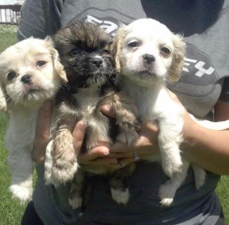thical Co-ck-apoo Pups Available