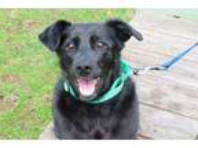 Adopt Blush a Labrador Retriever