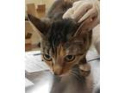 Adopt Mint Chocolate a Domestic Shorthair / Mixed cat in Birmingham