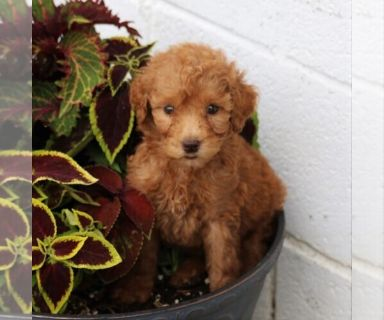 Goldendoodle-Poodle (Standard) Mix PUPPY FOR SALE ADN-130730 - f1b standard