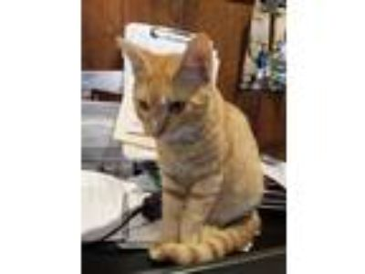 Adopt Kitty1 a Orange or Red Domestic Shorthair / Mixed cat in Covington