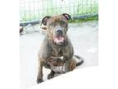 Adopt Bug a Pit Bull Terrier, Mixed Breed