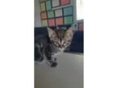 Adopt 6/5 Male Tabby Kitten a Tabby, Domestic Short Hair