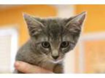 Adopt Sauza a Gray or Blue Domestic Shorthair / Domestic Shorthair / Mixed cat
