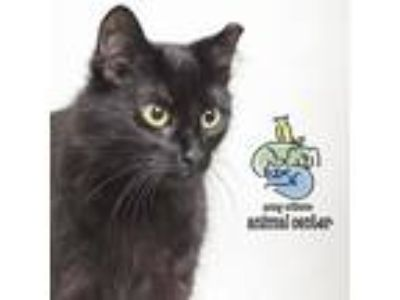 Adopt Moghedian a All Black Domestic Mediumhair cat in Knoxville, TN (25348540)
