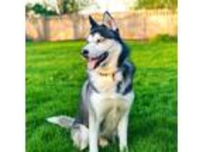 Adopt Mac a Black - with White Husky dog in Carol Stream, IL (25314415)