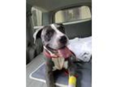 Adopt Big Mama Molly a Pit Bull Terrier, Hound