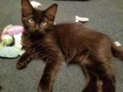 Adopt Lewis a All Black Domestic Shorthair / Mixed cat in Battle Ground