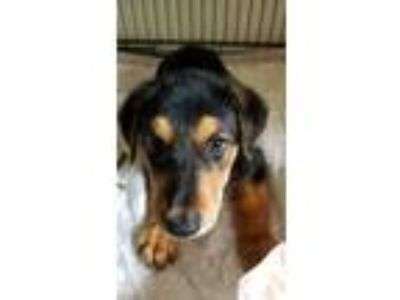 Adopt Nutella a Black - with Tan, Yellow or Fawn Doberman Pinscher / Shepherd