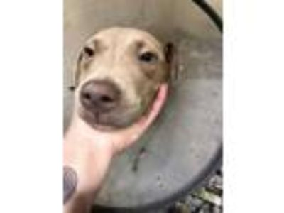 Adopt (found) Penny a Brown/Chocolate American Pit Bull Terrier / Mixed dog in