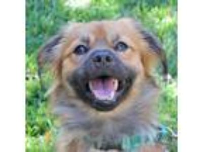 Adopt Springsteen a Brown/Chocolate - with Black Pekingese / Mixed dog in Walnut