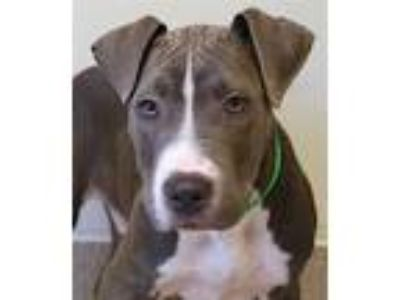 Adopt Curtis a American Pit Bull Terrier / Mixed dog in Oakland, CA (25446065)