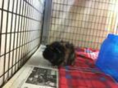 Adopt TOOTSIE a Brown or Chocolate Guinea Pig / Guinea Pig / Mixed small animal
