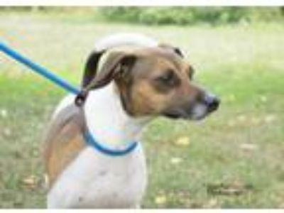 Adopt Buddy a Jack Russell Terrier
