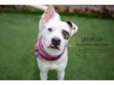 Adopt Leopold a Pit Bull Terrier, Mixed Breed
