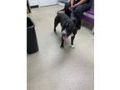 Adopt 41846489 a Black American Pit Bull Terrier / Mixed dog in Fort Worth