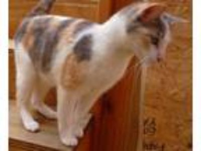 Adopt Juicy Pebbles a Bengal, American Shorthair