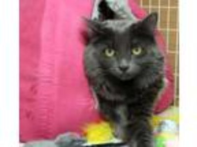 Adopt Baby Girl a Russian Blue, Domestic Medium Hair