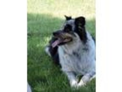 Adopt Banditt a Black - with Gray or Silver Australian Shepherd / Border Collie