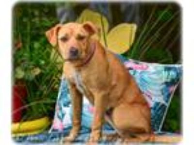 Adopt Star a Labrador Retriever