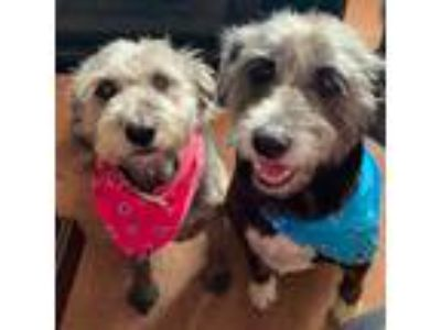 Adopt Bonnie and Clyde a Gray/Silver/Salt & Pepper - with Black Bearded Collie /