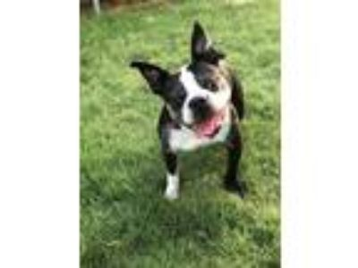 Adopt Bulleit a Black - with White Boston Terrier / Mixed dog in MCKINNEY