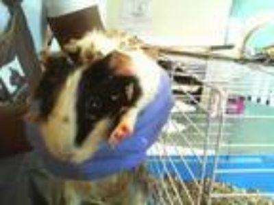 Adopt Dalaila-49732 a White Guinea Pig small animal in Oakland, CA (25547176)