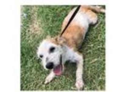 Adopt Spangle a Wire Fox Terrier