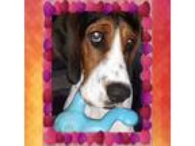 Adopt Gibbs - IN TRAINING a White Treeing Walker Coonhound / Basset Hound /