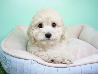 Goldendoodle PUPPY FOR SALE ADN-107451 - Goldendoodle Female Candice
