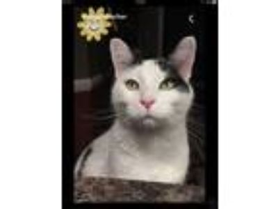 Adopt Moo a Black & White or Tuxedo Domestic Shorthair cat in Macomb