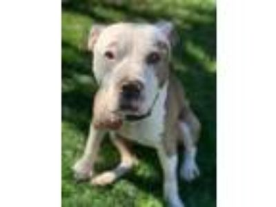 Adopt South Dakota a Pit Bull Terrier