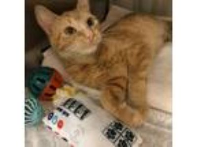 Adopt Straylee a Orange or Red Domestic Shorthair / Mixed cat in Philadelphia