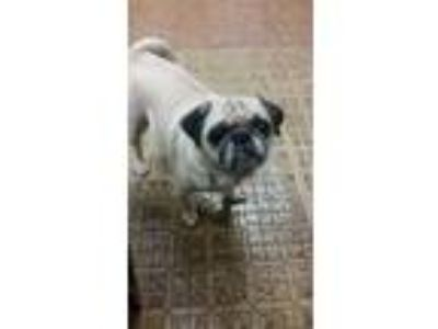 Adopt HAVI a Tan/Yellow/Fawn Pug dog in Woodside, NY (24792952)