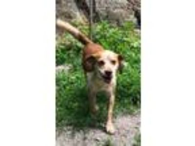 Adopt Brady a Red/Golden/Orange/Chestnut - with White Beagle / Mixed dog in