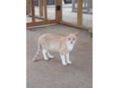 Adopt Yeni a Orange or Red Domestic Shorthair / Domestic Shorthair / Mixed cat
