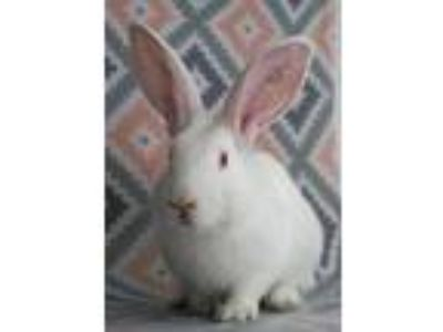 Adopt Brody a White New Zealand / Mixed rabbit in San Diego, CA (25866618)
