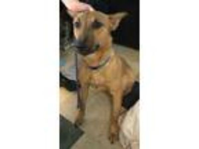 Adopt Jack a Brown/Chocolate Shepherd (Unknown Type) / Mixed dog in Mission