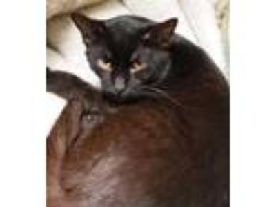 Adopt Cupid a All Black Domestic Shorthair / Domestic Shorthair / Mixed cat in