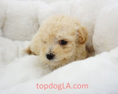 Maltipoo Puppy - Male – Boss ($1,299)