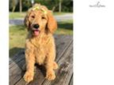 Betty F1b Goldendoodle