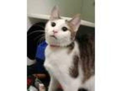 Adopt Rollerball a White Domestic Shorthair / Domestic Shorthair / Mixed cat in