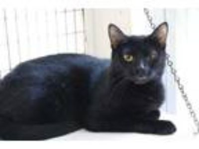 Adopt Sicily a All Black Domestic Shorthair / Domestic Shorthair / Mixed cat in