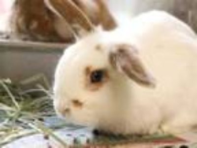 Adopt LINUS a White Lop, Holland / Mixed rabbit in Maryland Heights