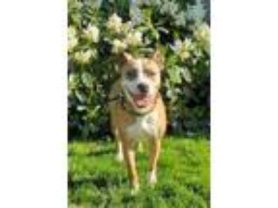 Adopt ZOEY a Brindle Catahoula Leopard Dog / Mixed dog in Tangent, OR (25224728)