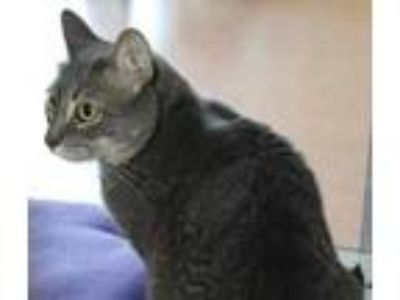 Adopt Snow a Gray or Blue Domestic Shorthair / Domestic Shorthair / Mixed cat in